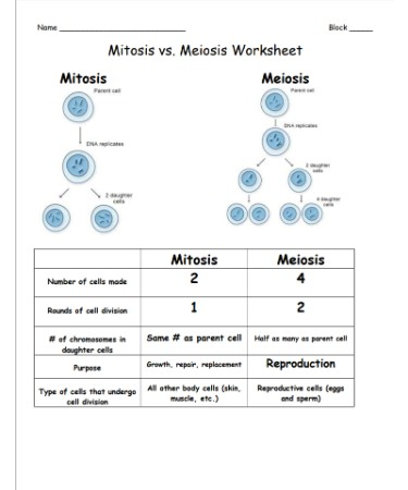 mitosis vs meiosis worksheet pdf - Mitosis Vs Meiosis Worksheet